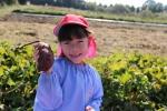 サツマ芋ほりに行きましたの写真