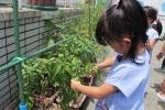 ヒマワリの栽培・お野菜の収穫(年長)の写真