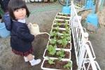 レタスを植えましたの写真